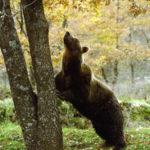 L'orso bruno marsicano al Parco Nazionale d'Abruzzo